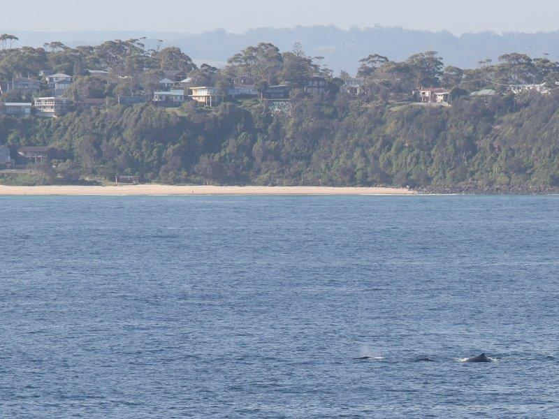 mollymook,ocean,Whales off Mollymook,dolphins and whales,dolphins,whales