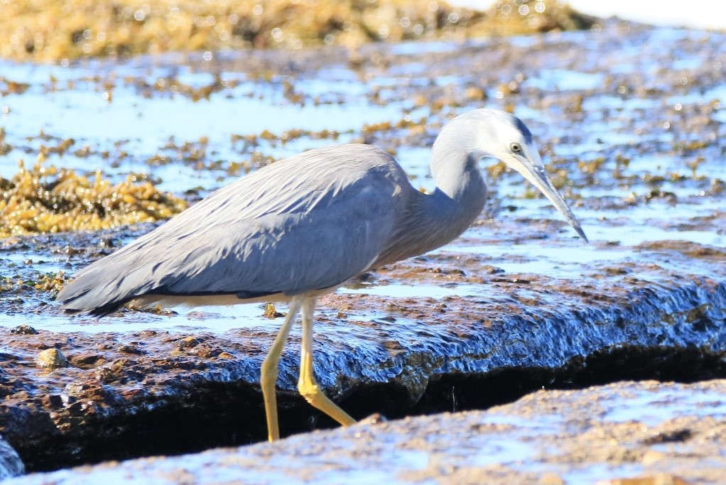 Birdlife,Bird life,Mollymook,Mollymook Beach,Mollymook Beach Waterfront