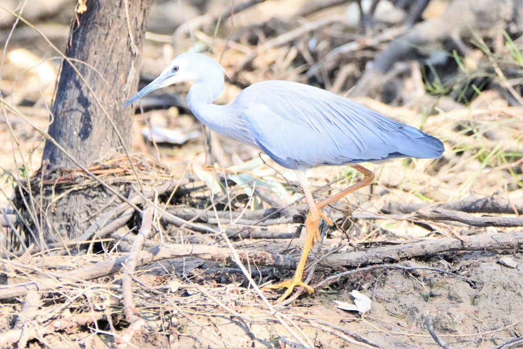 Bird Life,Nyngan,Trangie,Narromine,Dubbo,Wellington,mollymook beach waterfront