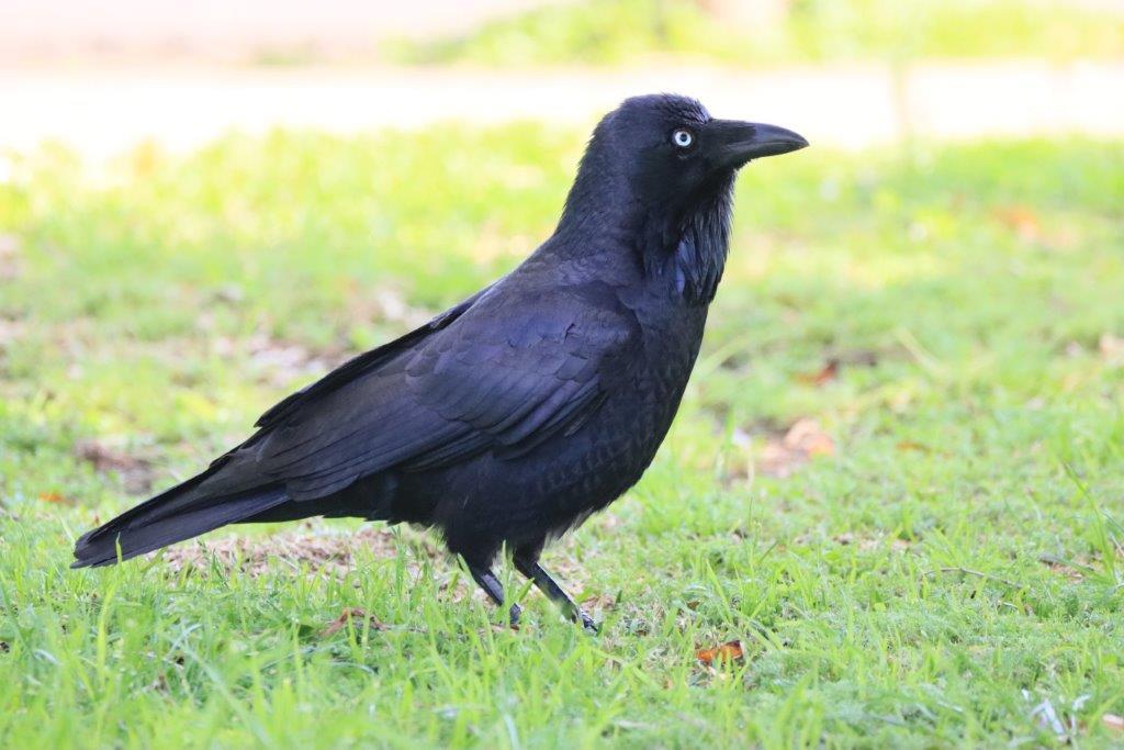 Crescent Heads,Bird Photography