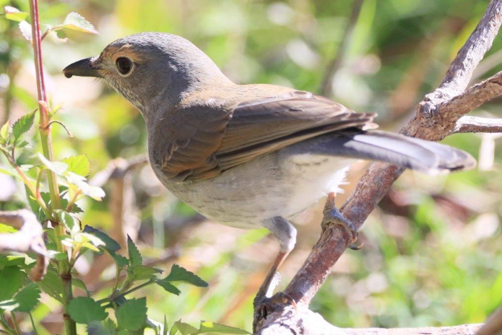 Crescent Heads,Bird Photography,Bird watching,mollymook news