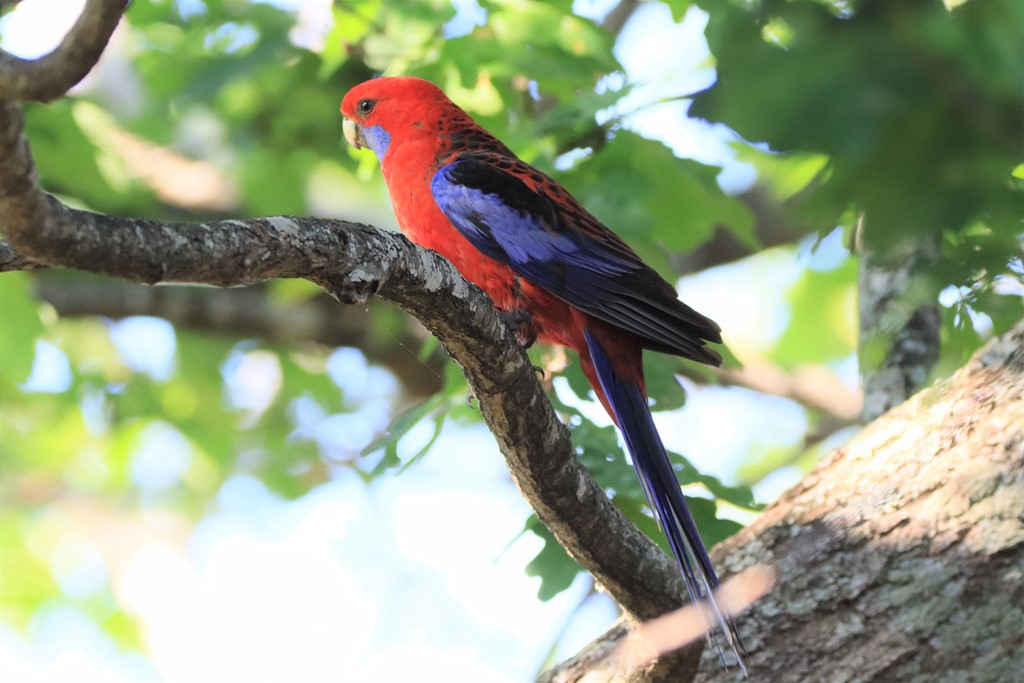 Birdlife,Bird life,Milton,Milton NSW,Mollymook Beach Waterfront