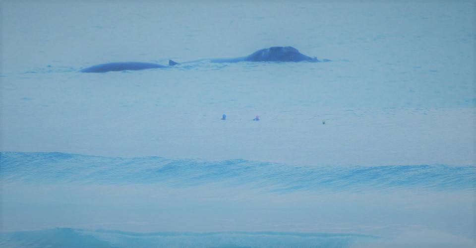 Mollymook Ocean swimmers,whale,Southern Right whale,Mollymook Beach,Mollymook Beach Waterfront
