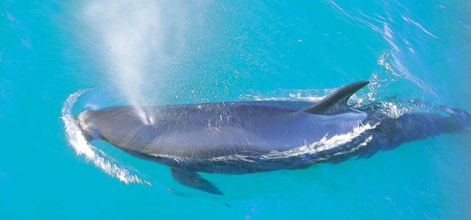 Mollymook Ocean swimmers,mollymook,ocean,swim,swimmers,beach,surf club,whales