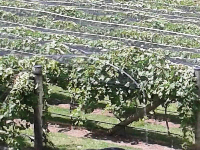 Vineyard Wine Tasting,wine tasting