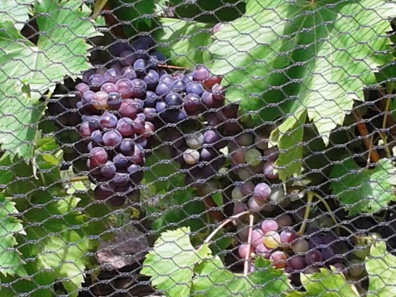 Jazz in the vines,Vineyard Wine Tasting,wine tasting